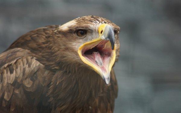 Animal Golden Eagle Birds Eagles Bird Eagle HD Wallpaper   Background Image