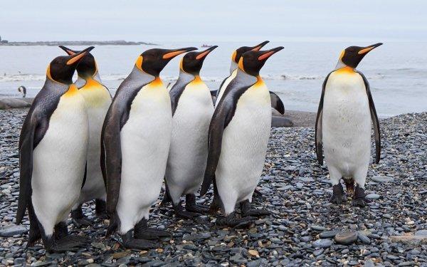 Animal Emperor Penguin Birds Penguins Penguin HD Wallpaper | Background Image