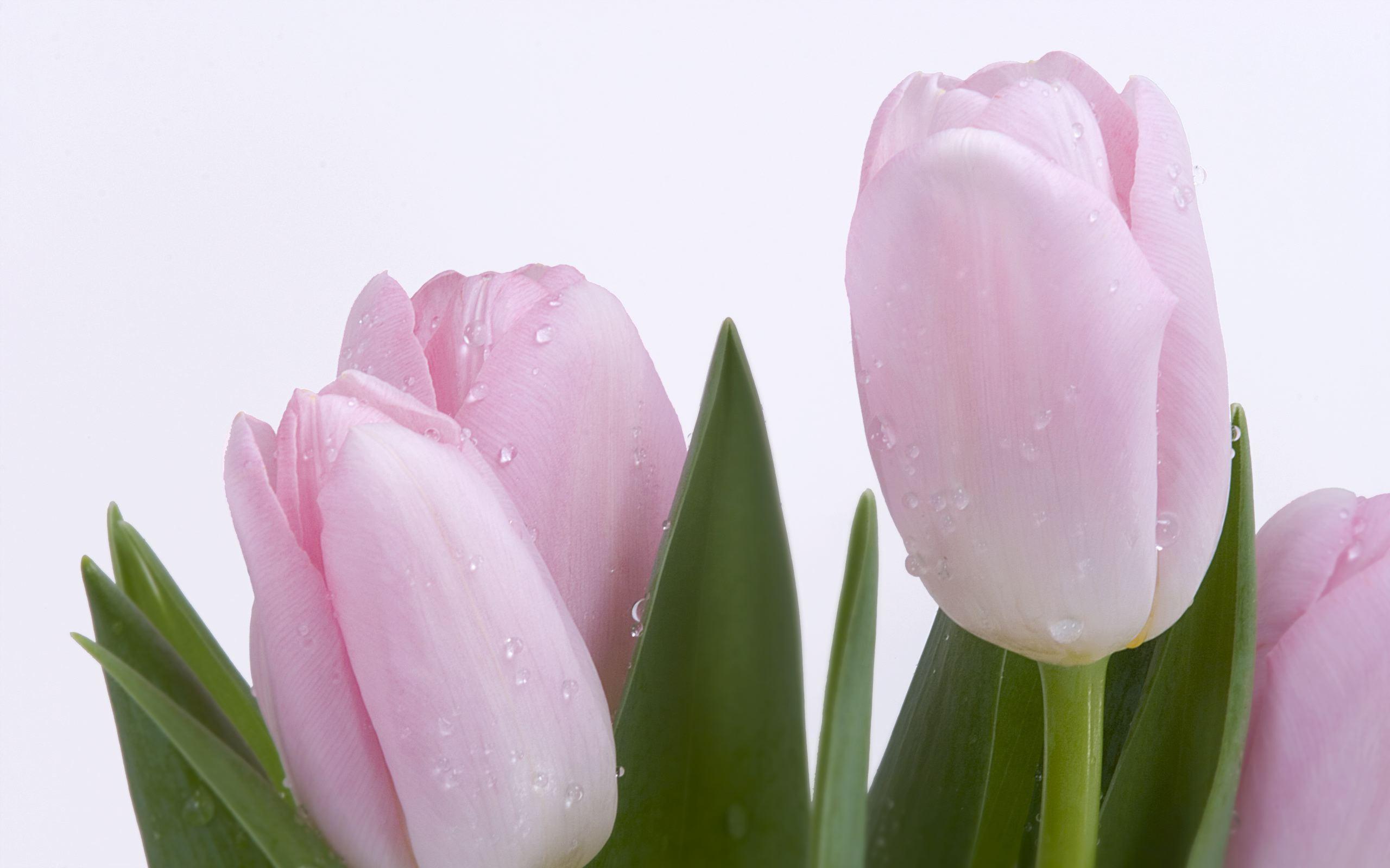 Tulip hd wallpaper background image 2560x1600 id101914 wallpapers id101914 izmirmasajfo