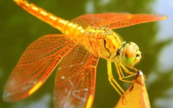 Animal - Dragonfly Wallpapers and Backgrounds ID : 101024