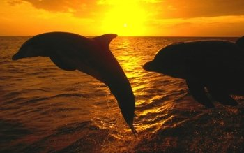 Animal - Dolphin Wallpapers and Backgrounds ID : 101158