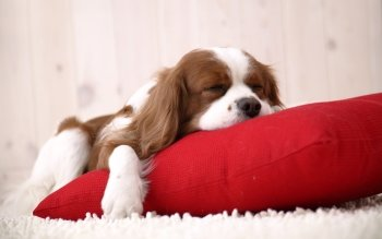 Animal - King Charles Spaniel Wallpapers and Backgrounds ID : 101806