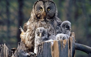 Animal - Owl Wallpapers and Backgrounds ID : 102044