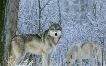 Animal - Wolf Wallpapers and Backgrounds ID : 102286