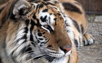 Animal - Tiger Wallpapers and Backgrounds ID : 102314