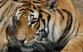 Animalia - Tigre Wallpapers and Backgrounds ID : 102318