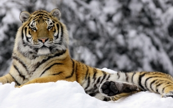 Tier - Tiger Wallpapers and Backgrounds ID : 102576