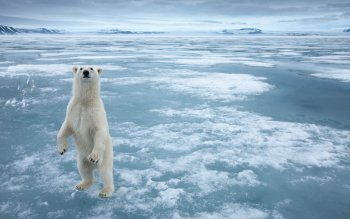 Animal - Polar Bear Wallpapers and Backgrounds ID : 102754