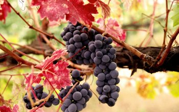 Alimento - Grapes Wallpapers and Backgrounds ID : 103508