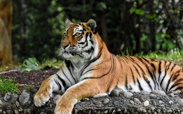 Animal Tiger Cats Zoo Resting predator Big Cat HD Wallpaper   Background Image