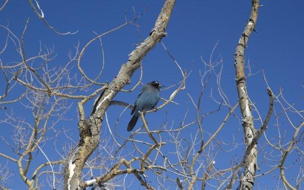 Animal Bird Birds Stellers Jay Colorado HD Wallpaper | Background Image