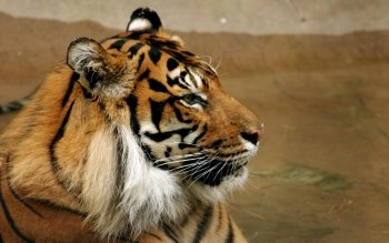 Animal - Tiger Wallpapers and Backgrounds ID : 105984