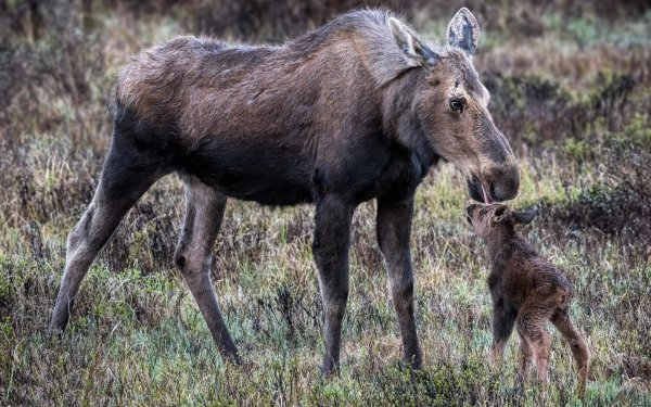 Animal Moose Wildlife Baby Animal HD Wallpaper | Background Image