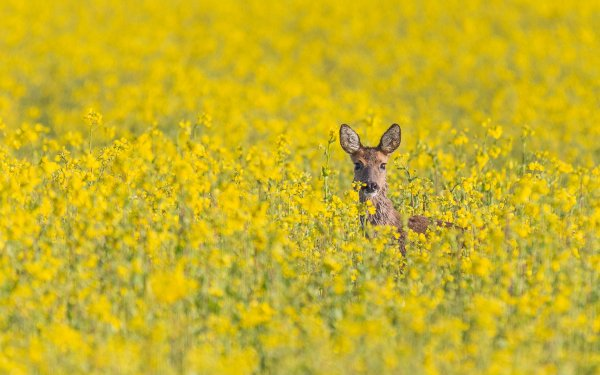 Animal Deer Wildlife Yellow Flower Rapeseed HD Wallpaper   Background Image