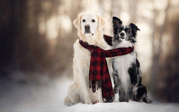 Animaux Chien Chiens Hiver Snow Scarf Pet Depth Of Field Golden Retriever Fond d'écran HD | Arrière-Plan