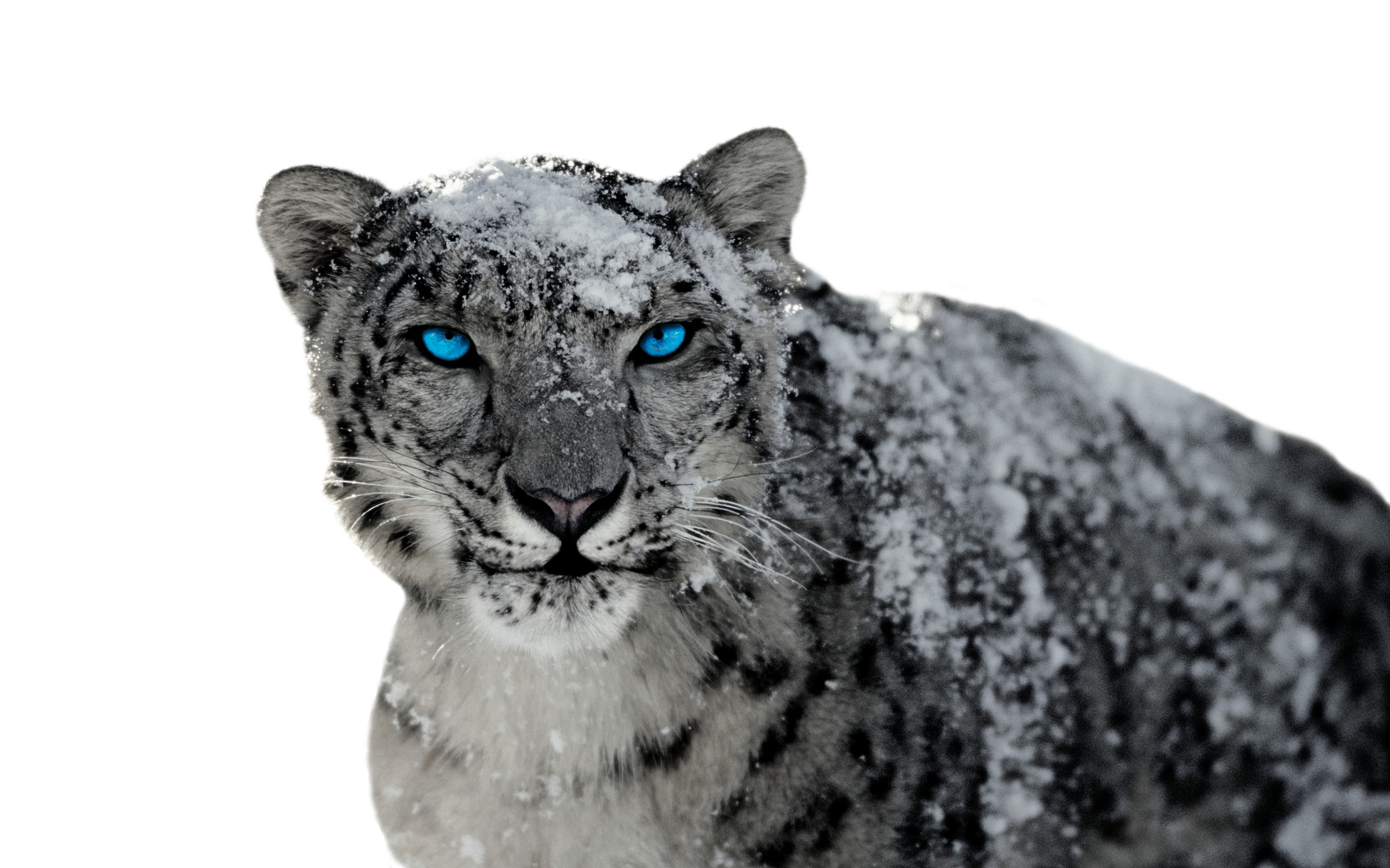 Snow Leopard Full HD Wallpaper and Background