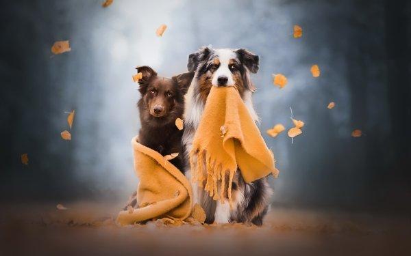 Animal Dog Dogs Pet Depth Of Field Scarf Australian Shepherd HD Wallpaper   Background Image