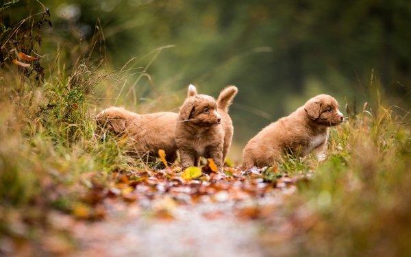 Animal Nova Scotia Duck Tolling Retriever Dogs Dog Pet Baby Animal Puppy HD Wallpaper   Background Image