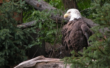 Animal - Eagle Wallpapers and Backgrounds ID : 107838