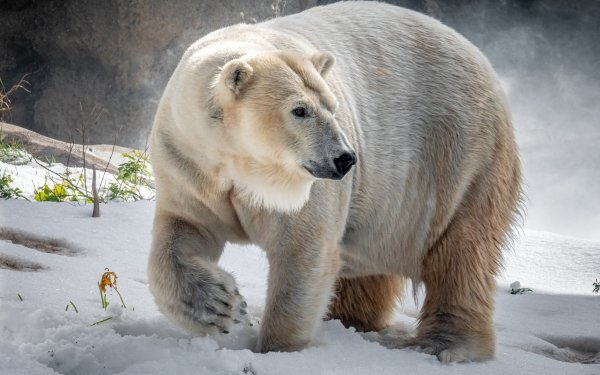 Animal Polar Bear Bears Wildlife predator Winter HD Wallpaper | Background Image