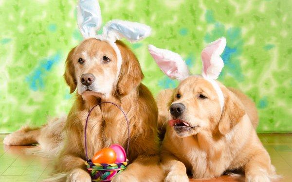 Animal Golden Retriever Dogs Easter Dog Pet HD Wallpaper | Background Image