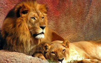 Animal - Lion Wallpapers and Backgrounds ID : 108104