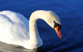 Animal - Swan Wallpapers and Backgrounds ID : 108336