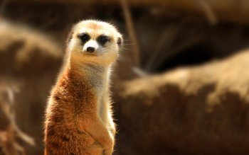 Dierenrijk - Meerkat Wallpapers and Backgrounds ID : 108404