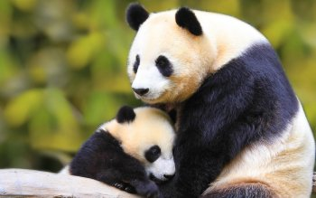 Animal - Panda Wallpapers and Backgrounds ID : 108436