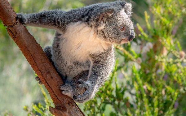 Animal Koala Wildlife HD Wallpaper | Background Image