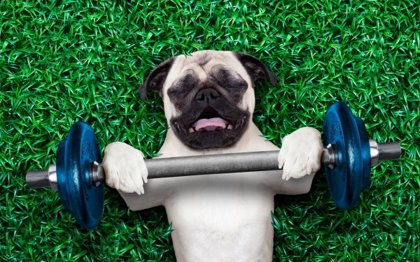 Animal Pug Dogs Dog Athlete Humor HD Wallpaper | Background Image