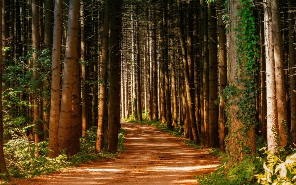 Man Made Path Forest Pine Tree Ivy HD Wallpaper | Background Image