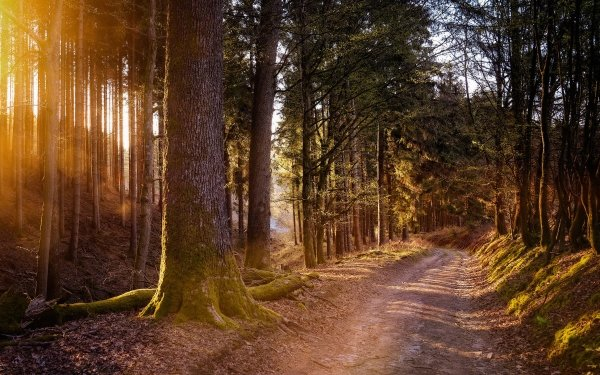 Man Made Path Road Forest Pine Tree Sunlight HD Wallpaper   Background Image