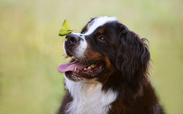 Animal Bernese Mountain Dog Dogs Pet Butterfly Dog HD Wallpaper | Background Image