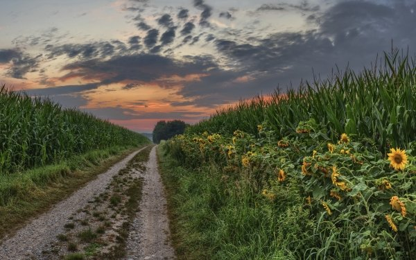 Man Made Path Summer Sunset Nature Sunflower Corn HD Wallpaper | Background Image