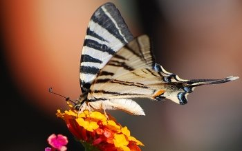 Animal - Butterfly Wallpapers and Backgrounds ID : 110246