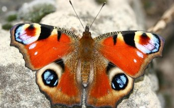 Animal - Butterfly Wallpapers and Backgrounds ID : 110514