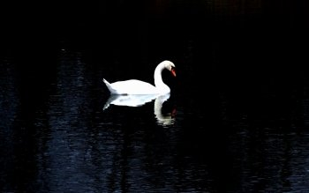 Animal - Swan Wallpapers and Backgrounds ID : 110728