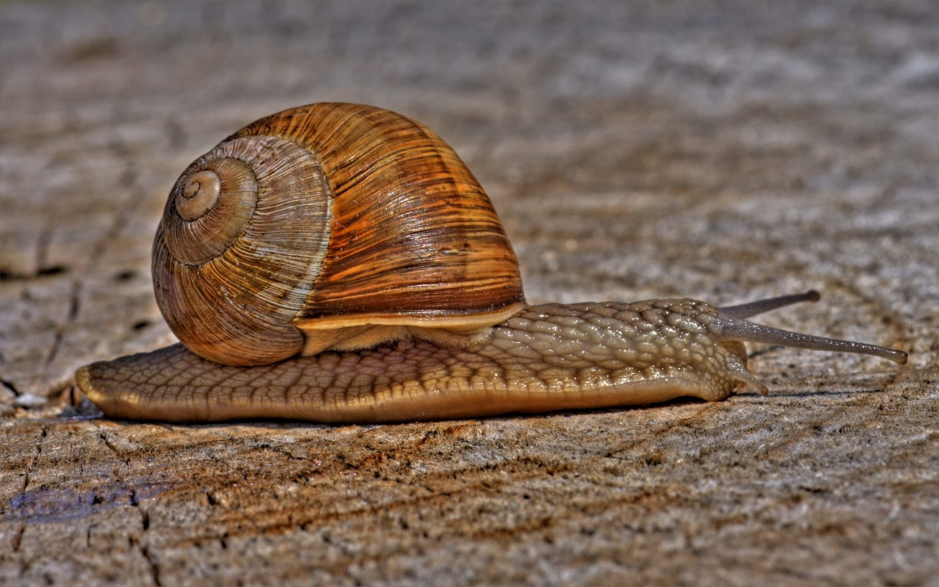 Photography - HDR  Slow Snail Wallpaper