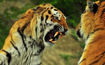 Animal - Tiger Wallpapers and Backgrounds ID : 111934