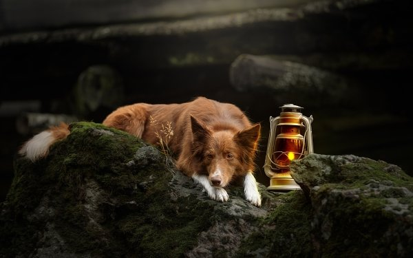 Animal Border Collie Dogs Moss Dog Lantern HD Wallpaper | Background Image