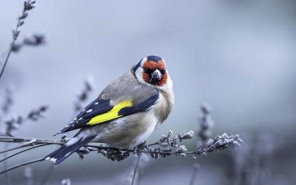 Animal Goldfinch Birds Passerines Bird European Goldfinch Wildlife HD Wallpaper | Background Image