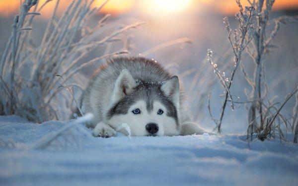 Animal Husky Dogs Winter Snow Dog Pet HD Wallpaper | Background Image