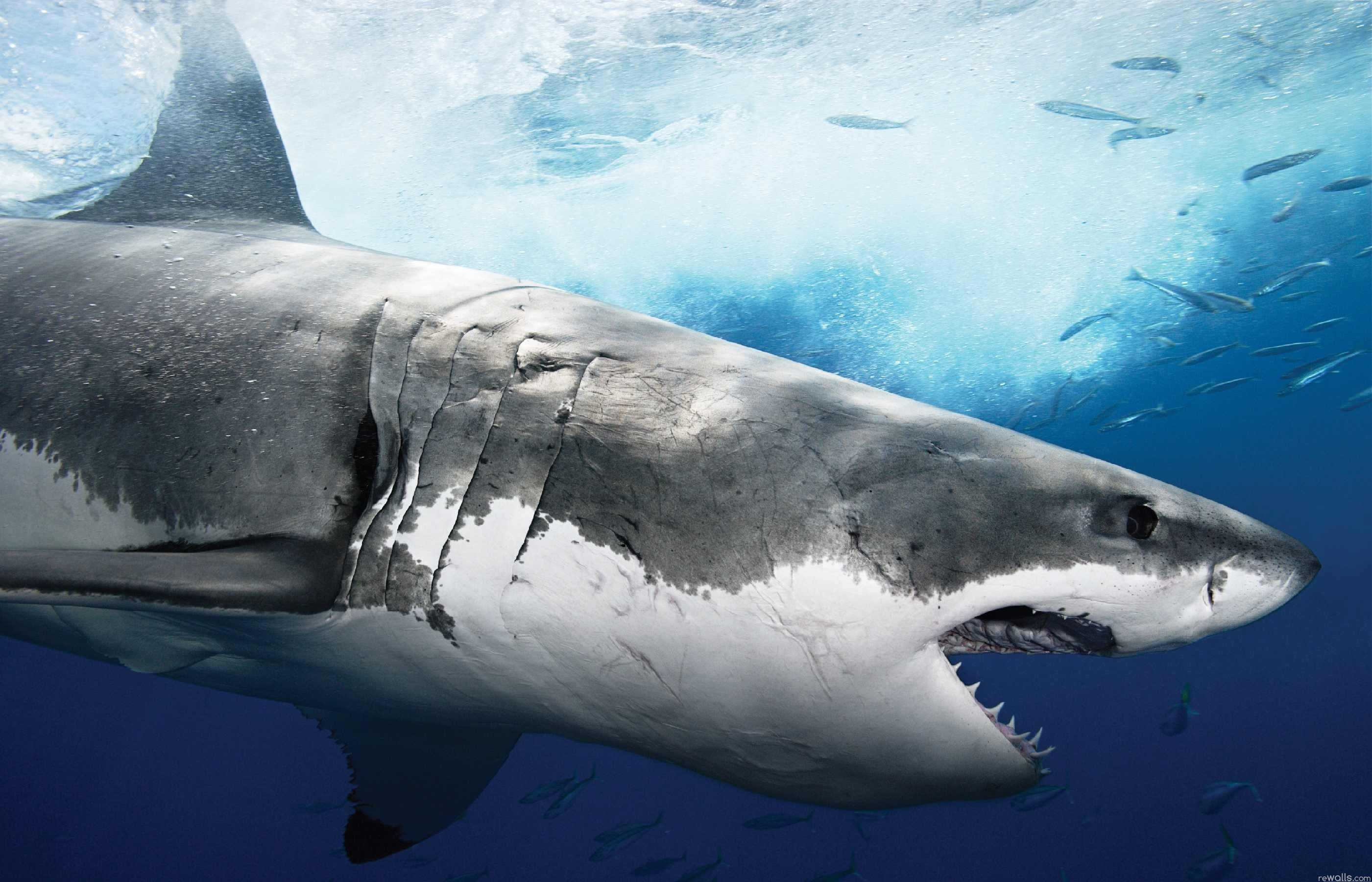 Shark full hd wallpaper and background image 2801x1800 id113246 animal shark wallpaper voltagebd Images
