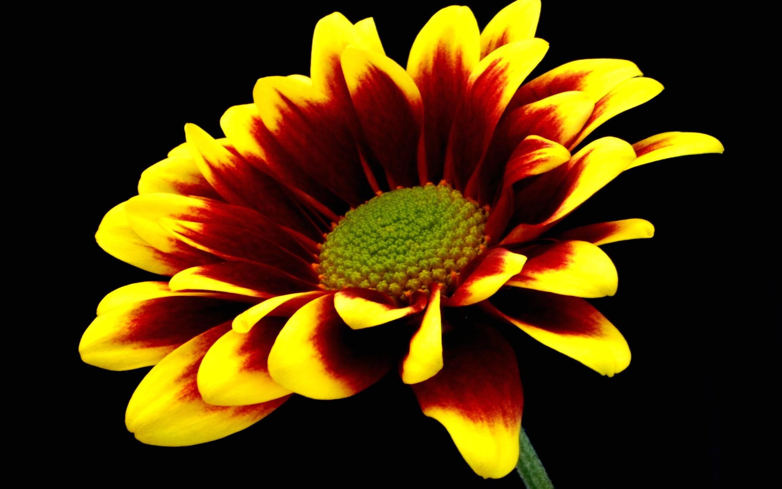 Flower Hd Wallpaper Background Image 2560x1600 Id114554
