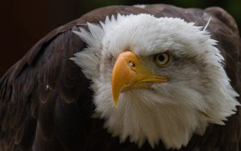 Animal - Eagle Wallpapers and Backgrounds ID : 114308