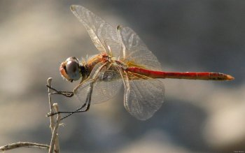 Animal - Dragonfly Wallpapers and Backgrounds ID : 114624