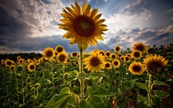 Earth - Sunflower Wallpapers and Backgrounds ID : 114698