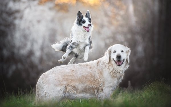 Animal Dog Dogs Pet Labrador Retriever Border Collie HD Wallpaper   Background Image
