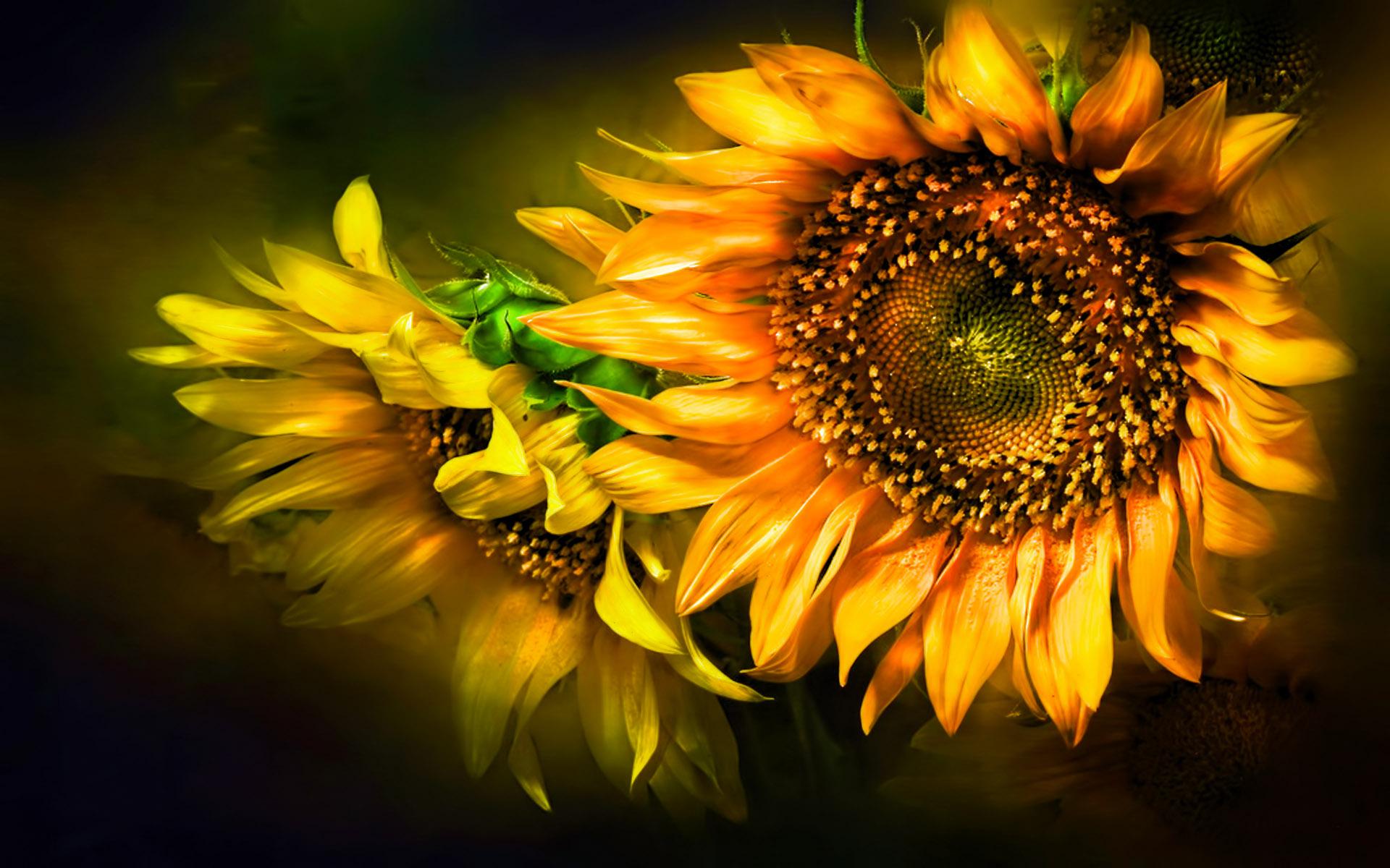 sunflower wallpapers WallpaperUP